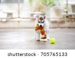 Stock photo siberian husky puppy hold doll in mouth and play with tennis ball fluffy puppy playing 705765133