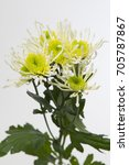 Small photo of Chrysanthemum Indicum Grp spray santini AAA Anura Green