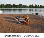 beautiful swan animal community ... | Shutterstock . vector #705909163