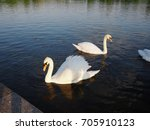 beautiful swan animal community ... | Shutterstock . vector #705910123