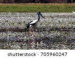 black necked stork or jabiru... | Shutterstock . vector #705960247
