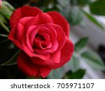 Stock photo red rose 705971107