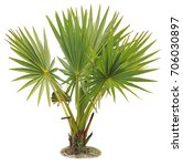 young betel palm on isolate... | Shutterstock . vector #706030897