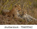 leopard with cub sitting beside ... | Shutterstock . vector #70605562