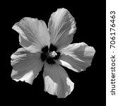 hibiscus flower  | Shutterstock . vector #706176463