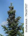 Small photo of Top of a balsam fir tree, Abies balsamea, with abundant female cones on Mt. Sunapee in Newbury, New Hampshire.