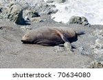 seal rests on a beach.... | Shutterstock . vector #70634080