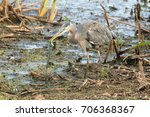 Small photo of A Great Blue Heron (Ardea herodias) caught in the act of killing a huge Garter Snake (Thamnophis sirtalis) before swallowing it whole. The life-and-death struggle happened in a freshwater marsh.