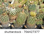 cactuses in pots for sale | Shutterstock . vector #706427377