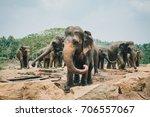 a herd of sri lankan elephants...   Shutterstock . vector #706557067
