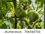 green tomatoes on a bush | Shutterstock . vector #706560703