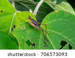 Small photo of Side view of brown, yellow and black bush cricket with long antenna (Arthropoda: Insecta: Orthoptera: Gryllidae: Nisitrus vittatus) stay still on the green leaf isolated with black background