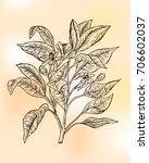 bergamot orange  citrus... | Shutterstock .eps vector #706602037