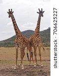 Two Giraffes In Africa