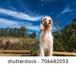 A Spinone Italiano Dog Sitting...