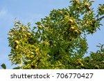 Green Bartlett Pears Or...
