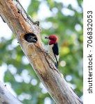 A Red Headed Woodpecker Feedin...