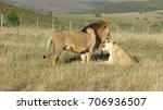 Lions In Love  Cuddling In The...