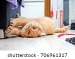 Stock photo a cute red haired tabby tomcat is lying on the floor and touching the sofa with his paws 706961317