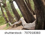 aged pine wood forest against... | Shutterstock . vector #707018383