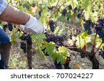 young adult man harvesting red... | Shutterstock . vector #707024227