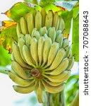 green bananas ripen on the... | Shutterstock . vector #707088643