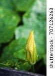 bright orange squash blossom in ... | Shutterstock . vector #707126263