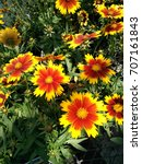 Small photo of Coreopsis hybrida 'Baluptgonz, UpTick Gold & Bronze, compact mound of dark green leaves and flowerheads with bicolored rays, golden above and bronze base, good for containers and rock gardens