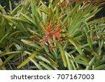 Small photo of Aechmea blanchetiana
