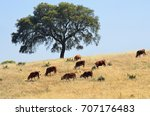 countryside landscape. cow and... | Shutterstock . vector #707176483