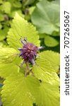 Small photo of Closeup of a purple flower of Agastache plant amongst lime green leaves, top view