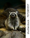 Funny Beautiful Raccoon.raccoo...