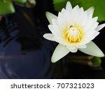 White Yellow Water Lily Lotus...