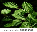 green hornbeam leaves black... | Shutterstock . vector #707395807