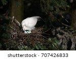 great white egret in mating... | Shutterstock . vector #707426833