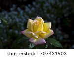 gloriously  magnificent...   Shutterstock . vector #707431903