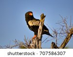 Eagle Fasciated On A Dead Tree...