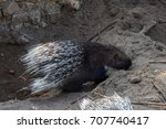 indian crested porcupine  also... | Shutterstock . vector #707740417