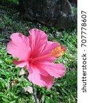 hibiscus rosa sinensis  chinese ... | Shutterstock . vector #707778607