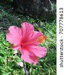 hibiscus rosa sinensis  chinese ... | Shutterstock . vector #707778613