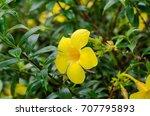 Small photo of Yellow Golden Trumpet flower or Allamanda Flower