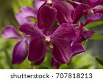 Purple Orchids In Singapore...