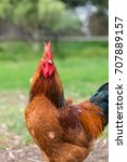 Small photo of ISA Brown rooster