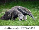 Giant Anteater. Latin Name  ...