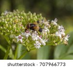 Small photo of hoverfly named Pellucid Fly resting on a flower head in natural bacl