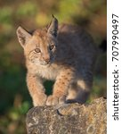 single siberian lynx kitten ...   Shutterstock . vector #707990497