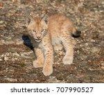 single siberian lynx kitten ...   Shutterstock . vector #707990527