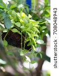 Small photo of Close up of Dave's tree or Asclepiadaceae Dischidia nummularia V