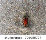 Upside Down Rainbow Shield Bug...