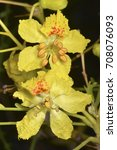 Small photo of Parkinsonia aculeata (palo verde), a species of perennial flowering tree (family Fabaceae)